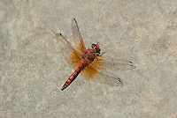389190015 a wild male red rock skimmer paltothemis lineatipes perches on a large rock in piru creek angeles national forest los angeles county california