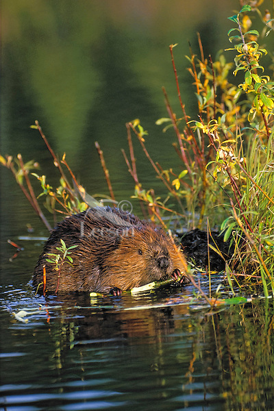 Beaver (Castor canadensis) holds willow branch in paws while gnawing off the bark, autumn, North America.