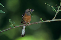 White-rumped Shama, Copsychus malabaricus,female with anole, Kauai, Hawaii, USA
