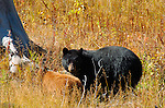 Black Bear and Cinnamon Cub, Elk Creek, Yellowstone National Park, Wyoming