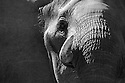 Botswana, Okavango Delta, Moremi Game Reserve, African elephant bull (Loxodonta africana), close up of head