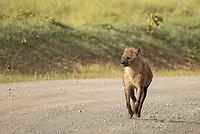 Spotted Hyena, Crocuta crocuta, walks on a dirt road in Lake Nakuru National Park, Kenya