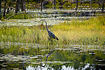 Great Blue Heron in Reid State Park, Georgetown, ME, USA