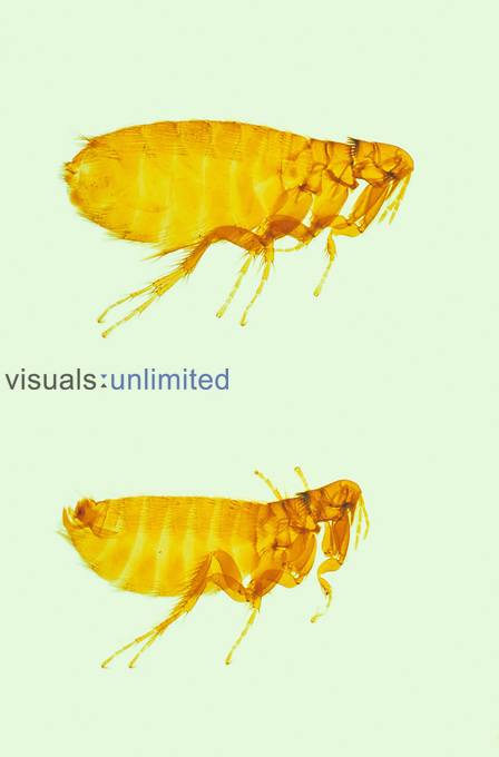 Fleas (Paratyphloceras oregonensis) collected from a Mountain Beaver, Oregon, USA. LM.
