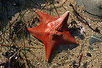 bat star in tide pool