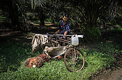 An estate worker carries the harvested oil palm fruits on his bicycle at the Kerasaan palm plantation in Sumatra, Indonesia. Photo: Sanjit Das/Panos