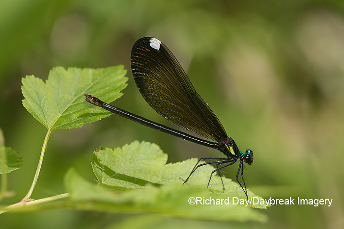06014-00316 Ebony Jewelwing (Calopteryx maculata) female Washington Co. MO