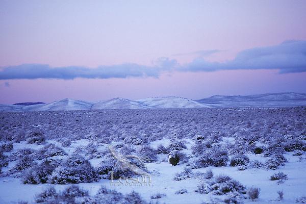 Male Sage Grouse strutting on snow covered lek in eastern Oregon's high desert region.  Photo taken before sunrise.