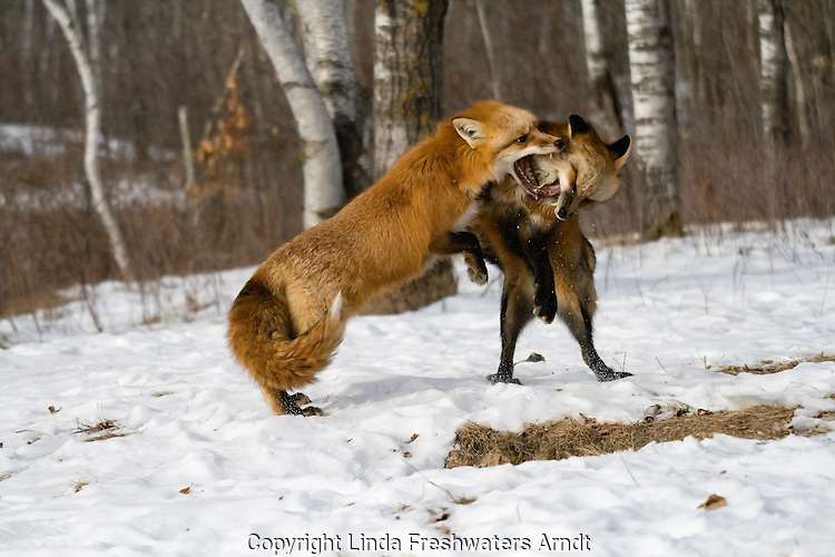 Two red fox (Vulpes vulpes) fighting.