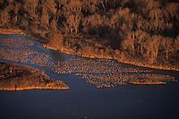 Sandhill Cranes  overnight in the shallow Platt River in Nebraska during their northward migration.<br /> Aerial photo