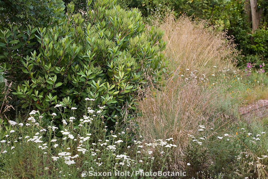 Evergreen Toyon shrub (Heteromeles arbutifolia) in lush California native plant garden with wildflowers (Achillea) and fescue bunch grass (Festuca californica)