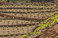 France, Pyrénées-Orientales (66), Banyuls-sur-Mer, vignoble AOC de Banyuls // France, Pyrenees Orientales, Banyuls-sur-Mer, the vineyard of  Banyules