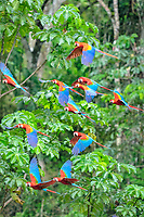 scarlet macaw, Ara macao, flock, flying, Tambopata National Reserve, Madre de Dios Region, Tambopata Province, Peru, Amazonia