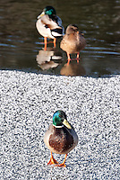 For the last few cold winters Bude Canal has frozen for several weeks presenting new challenges for the resident mallards. They rarely go hungry as so many residents and visitors feed them. Here a mallard drake is standing on a frosted ice sheet with a duck and drake in the background.