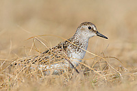 Adult Semipalmated Sandpiper (Calidris pusilla) departing its nest. Seward Peninsula, Alaska. June.