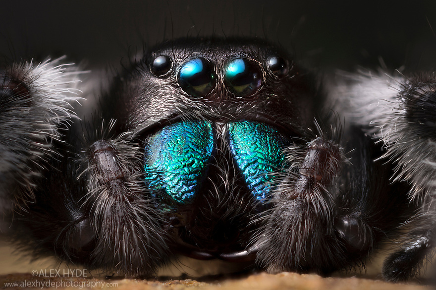 Regal Jumping Spider {Phidippus regius} male. Captive, originating from North America.
