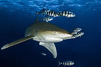 Oceanic whitetip shark, Carcharhinus longimanus, pilot fish,Naucrates ductor, Small Brother Island, Egypt, Red Sea, Indian Ocean