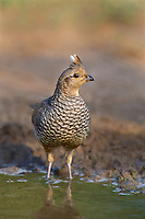 574560035 a wild scaled quail callipepla squamata stands at the edge of a small pond on dos venados ranch in starr county texas united states