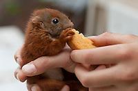 Eichhörnchen, Europäisches Eichhörnchen, verwaistes Jungtier, Junges wird von Hand aufgezogen, Wildtier-Aufzucht, Fütterung mit Zwieback, Sciurus vulgaris, European red squirrel, Eurasian red squirrel