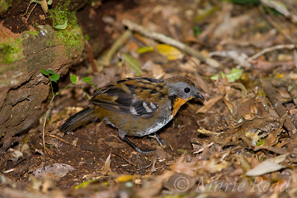 Australian Logrunner (Orthonyx temminckii), female foraging in leaf litter on the forest floor, Lamington National Park, Queensland, Australia