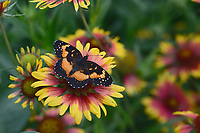 Bordered Patch (Chlosyne lacinia), adult on Indian Blanket/Fire Wheel (Gaillardia pulchella), Hill Country, Central Texas, USA