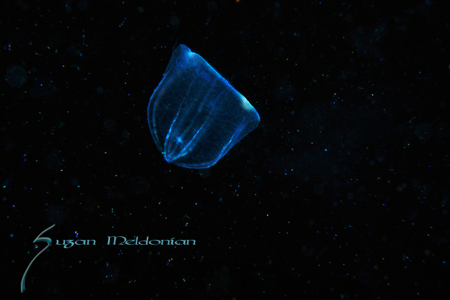 Comb Jelly - Beroe ovata , Black Water diving over Gufstream Current,depth 600 ft. Full moon, Super moon, with Pura Via Divers, off Singer Island, Florida