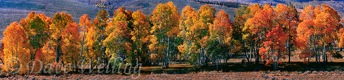 920000004 panoramic view of fall-colored deciduous trees in summers meadow near bridgeport california