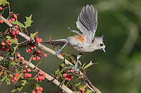 Black-crested Titmouse (Baeolophus bicolor), adult landing on Agarita (Berberis trifoliolata) with berries, Rio Grande Valley, South Texas, Texas, USA