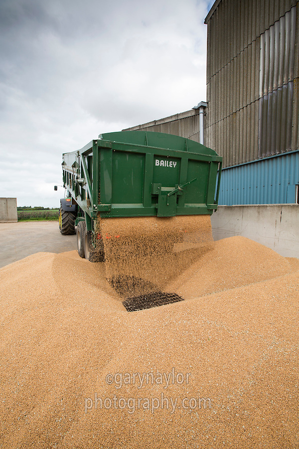 Tipping wheat into store reception pit - Lincolnshire, September