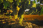 Grapes / Vines.