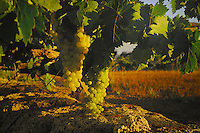 Grapes,Tenerife, Canary Islands