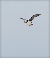 Atlantic Puffin in-flight, with fish in beak on a foggy day at Machias Seal Island