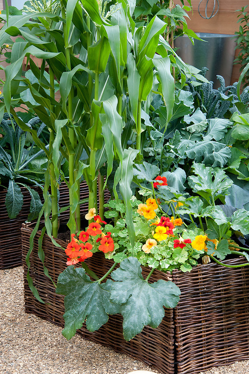 Sweetcorn, nasturtiums and courgette in a wicker-clad raised bed.