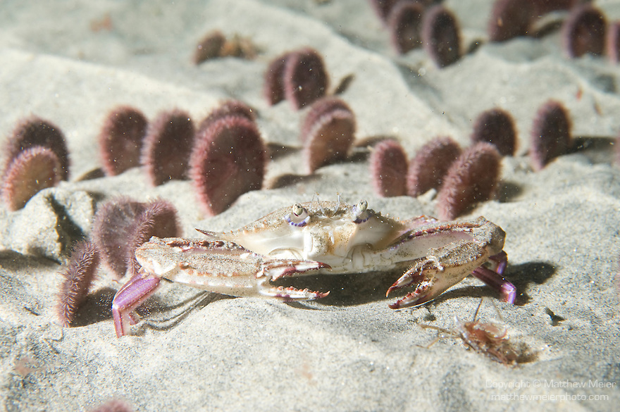 La Jolla Underwater Ecological Reserve, La Jolla, California; Xantus' Swimming Crab (Portunus xantusii) amongst Eccentric Sand Dollars (Dendraster excentricus)