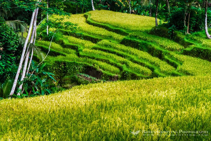 Bali, Gianyar, Gunung Kawi.  Rice fields close to the site.