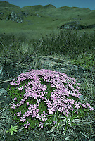 MOSS CAMPION Silene acaulis (Caryophyllaceae) Prostrate<br /> Charming, cushion-forming perennial. Found on mountain tops and rocky ledges, but also near the sea in the far N. FLOWERS are pink, 9-12mm across and 5-petalled (Jun-Aug). FRUITS are capsules. LEAVES are narrow and densely packed, creating a moss-like appearance to cushion. STATUS-Local on suitable mountains, from Wales northwards.