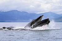 adult humpback whale, Megaptera novaeangliae, bubble net feeding, Chatham Strait, Alaska, USA, Pacific Ocean