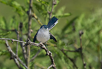 536050002 a wild black-tailed gnatcatcher polioptila melanura perches in a mesquite bush in montosa canyon near green vally arizona united states