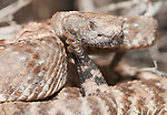 Panamint rattlesnake, Crotalus mitchellii stephensi, in defensive posture, ready to strike. Wildrose Canyon, Death Valley National Park, California