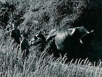 Wasserbüffel, Indien 1970