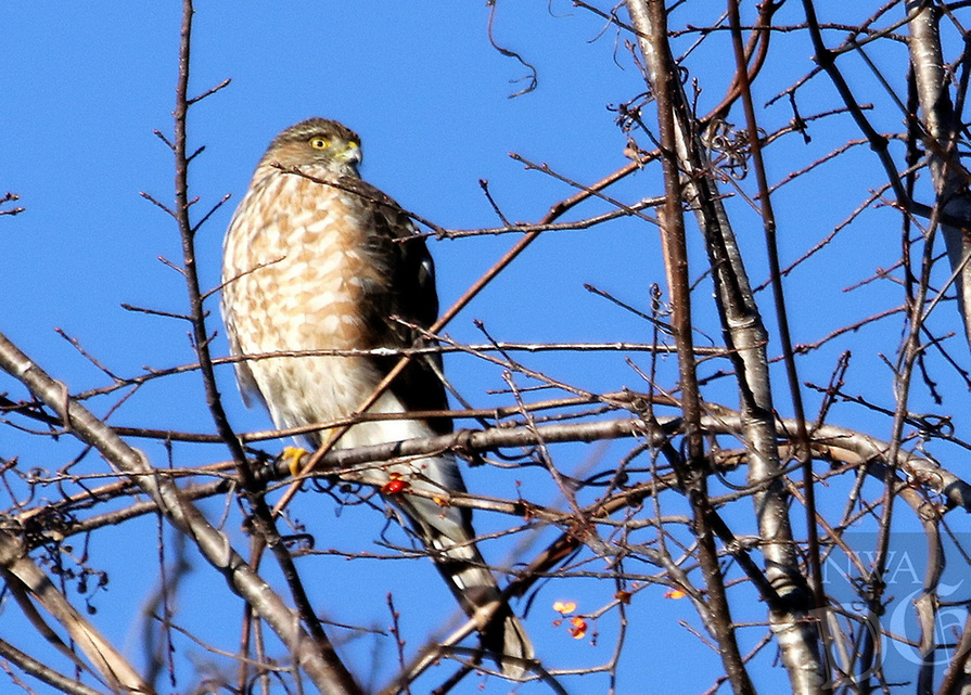 Courtesy photo/PHYLLIS KANE<br /> A hawk is seen Dec. 11 near the shore of Lake Fayetteville.