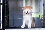 Photo shows a 2-month old puppy Akita Inu that was bred in Odate City, Akita Prefecture Japan. Photographer: Rob Gilhooly