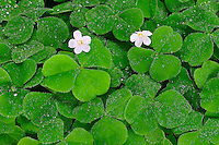 Morning dewdrops upon flowering Oxalis on a forest floor.