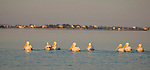 Pellicans swim near Shell Point, Florida February 9, 2009.   (Mark Wallheiser/TallahasseeStock.com)