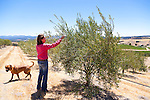Kiler Ridge Olive Farm in Paso Robles, CA.  Gregg Bone's wife, Audrey, checking out the olive trees
