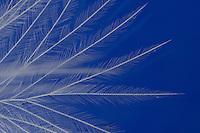 Daune, Dune, Daunen, Dunen, Daunenfeder, Dunenfeder eines Huhn, Haushuhn, Feder, Vogelfeder, Unterfeder, Feder mit kurzem Kiel und sehr weichen und langen, strahlenförmig angeordneten Federästen ohne Häkchen