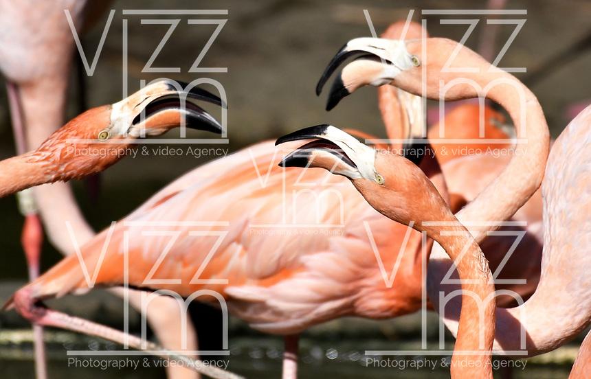 CALI - COLOMBIA - 27 - 09 - 2017: Flamengos (Phoenicopterus Ruber) especie de ave en el Zoologico de Cali, en el Departamento del Valle del Cauca. / Flamengos (Phoenicopterus Ruber) Bird specie in the Zoo of Cali,  in the Valle del Cauca, Colombia. / Photo: VizzorImage / Luis Ramirez / Staff.