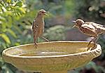 Juvenile Starlings arguing at the birdbath.