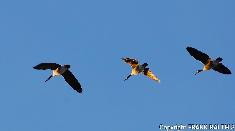 3 canada geese in flight