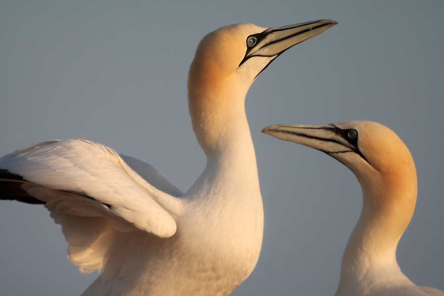 Gannets (Sula bassana) Saltee Islands Ireland
